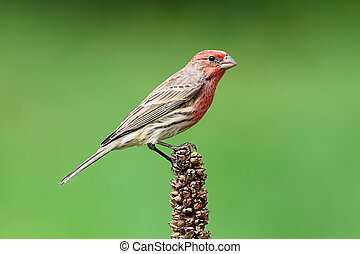 Male House Finch (Carpodacus mexicanus) perched with a green...