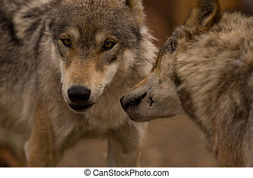 A pair of European Wolves - Close up view of a pair of...