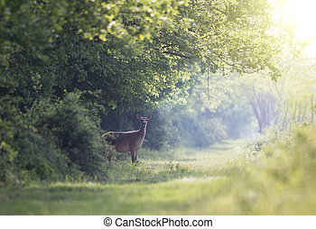 Hind standing in forest - Careful hind (red deer female)...