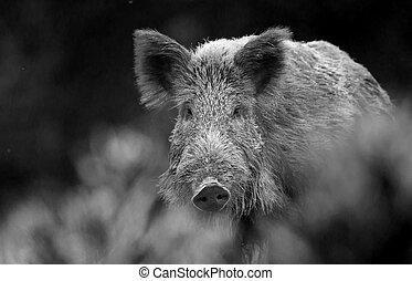 Wild boar walking on meadow - Wild boar (sus scrofa ferus)...