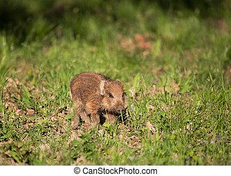 Wild boar piglet walking on grass - Wild boar piglet (sus...