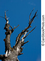 Dead tree on blue sky - Dry tree isolated on blue sky