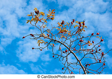 Rose hip on blue sky with clouds