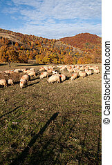 Sheeps - sheeps on autumn landscape