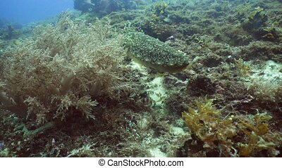 Cuttlefish under water. - Cuttlefish under water in the...
