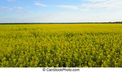 Field with blooming Canola in spring. Aerial videotaping