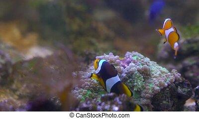 Clownfish floats in an aquarium - Tropical clownfish floats...