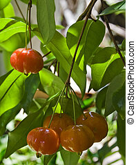 Brazilian Cherry (Pitanga) on Tree - Tropical fruit also...