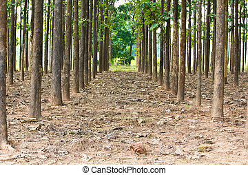 teak trees in an agricultural forest in bright afternoon...