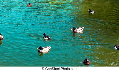 Ducks swimming in a pond. Toned video