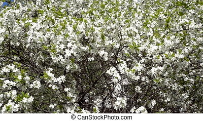 apple tree bloom spring. Panoramic view. FHD video