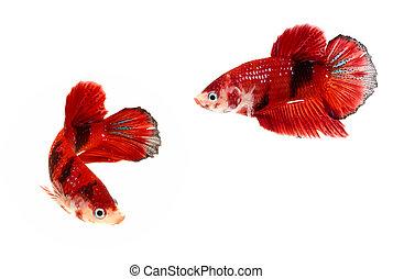 Moment of siamese fighting fish, betta splendens,aquarium...