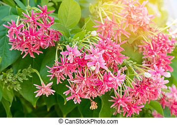 Chinese honey Suckle,  Quisqualis indica , colorful red pink tiny tropical fragrant flowers.