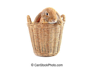 Cute french Lop rabbit sitting in the basket on white...