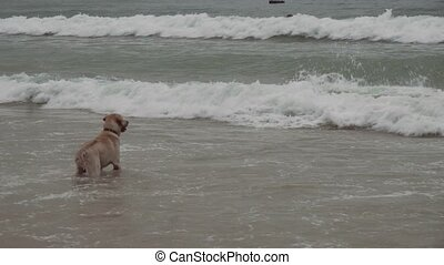 Labrador dog boldly bathes in large sea waves stock footage video
