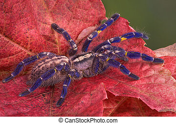 Purple tarantula - A purple P. Metallica tarantula is...