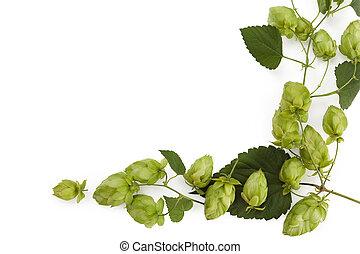 Hop fruit isolated on white background.
