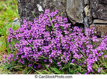 Erinus alpinus - Fairy Foxglove, starflower (Erinus alpinus)...