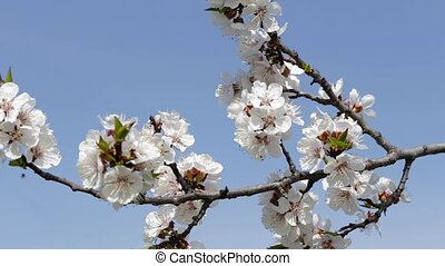 fresh spring background - Close-up of a blooming apricot,...