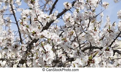 Fresh spring background - Tree apricots blossoms against the...