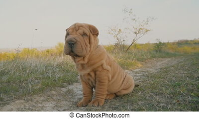 shar pei breed dog sits - A Shar Pei dog sitting on the lawn