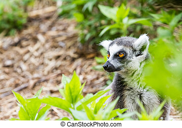 Ring tailed lemur - In the trees, these are beautiful Ring...