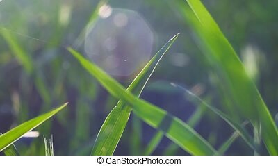 Wheat leaves moving by the wind in warm spring evening sun light flares. Shallow depth of field close up