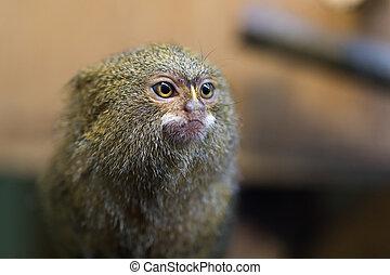 Pygmy marmoset or Cebuella pygmaea sitting on a branch