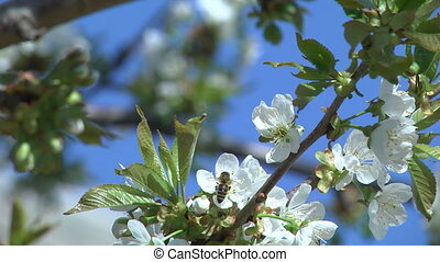 Flowers of the Cherry Tree - Cherry blossom tree pollination...