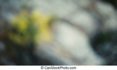 Yellow flowers grow on rocks on mountain in spring - Yellow...