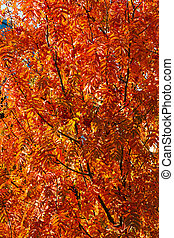 Rowanberry tree in fall - Autumn rowanberry tree with red...