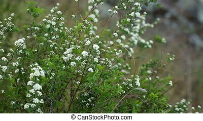 White small flowers grow on mountain in the spring - White...