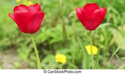 red tulips close to on green background - Flowers red tulips...