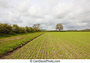 pea field and hawthorn hedgerow - a young pea crop beside a...