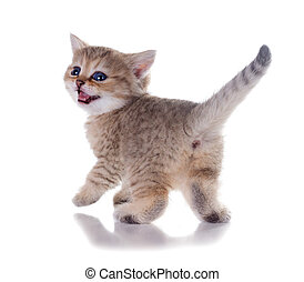 Monthly kitten   British Shorthair.  Color: Black Golden Shaded. Isolated on white background