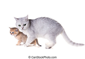 Cat with a kitten.  British Shorthair. Isolated on white background