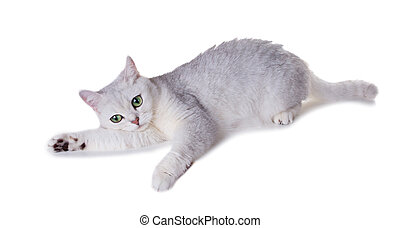 Green-eyed cat of breed  British Shorthair.Color Black Silver Shaded Isolated on white background