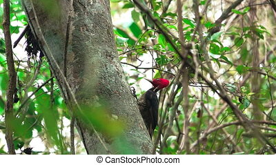 woodpecker jumping at trunk closeup, slow-motion - Closeup...