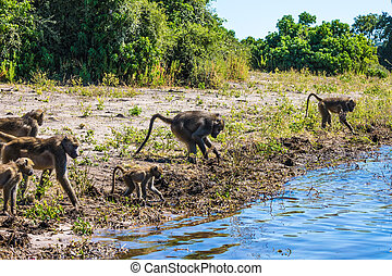 The baboons at a watering place - The herd of baboons at a...