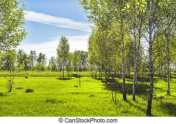 Deciduous tree Birch ( lat. Betula ). Young birch grove with...