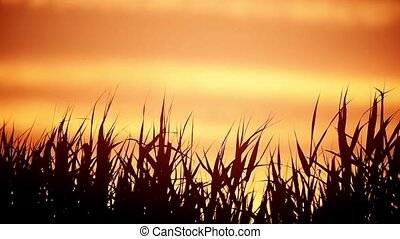 Close-up of the reed silhouettes in the wind against sunset...