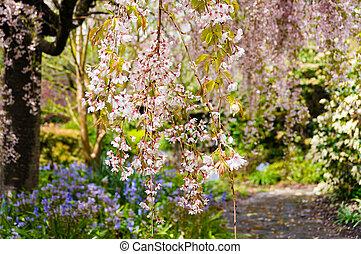 Blooming cherry tree. Sakura flowering nature background -...