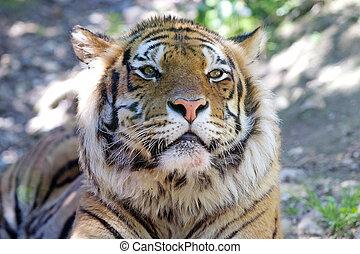 Tiger (Panthera tigris) portrait