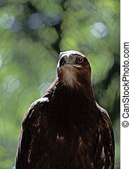 Steppe Eagle (Aquila nipalensis orientalis) - The Steppe...