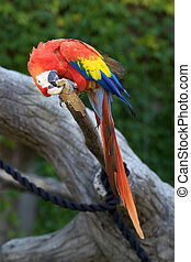 The green-winged macaw (Ara chloropterus) on the tree