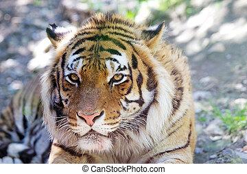 Tiger (Panthera tigris) - A beautifull tiger (Panthera...