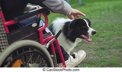 A disabled person plays with a dog, canitis therapy, disability treatment through training with a dog, Man in a wheelchair