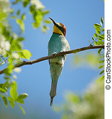 Bee eater (Merops apiaster) - Bee eater birds (Merops...