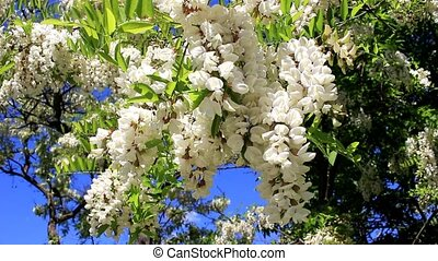 Bunch of acacia flowers - On branches of trees, white...