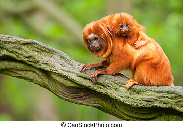 cute golden lion tamarin with baby Leontopithecus rosalia